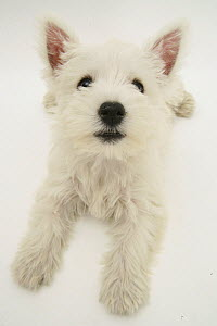 West Highland White Terrier lying looking up into camera.  -  Jane Burton