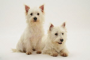 Two West highland White Terriers sitting and lying.  -  Jane Burton