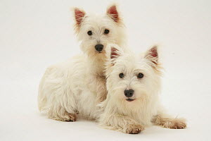 Two West Highland White Terriers lying.  -  Jane Burton