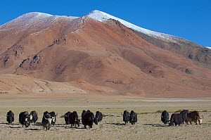 Herd of Domestic Yaks (Bos grunniens) near Tso Kar lake, Ladakh, India, June 2010 - Bernard Castelein