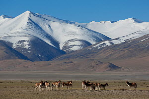 Herd of Tibetan Wild Ass (Equus kiang) with view of snow capped mountains behind, Tso Kar lake, Ladakh, India, June 2010 - Bernard Castelein