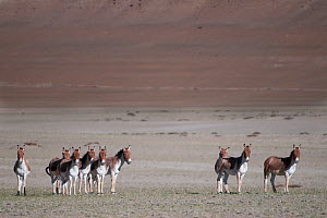 Herd of Tibetan Wild Ass (Equus kiang) Tso Kar lake, Ladakh, India, June 2010 - Bernard Castelein