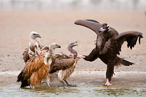 Cinereous / European Black Vulture (Aegypius monachus) in dispute with an Eurasian Griffon Vulture (Gyps fulvus), alongside a Himalayan Griffon (Gyps himalayensis) and Long-billed Vulture (Gyps indicu...  -  Bernard Castelein