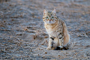 Desert / Asiatic Wild Cat (Felis silvestris ornata) portrait sitting in sand, Rajasthan, India - Bernard Castelein