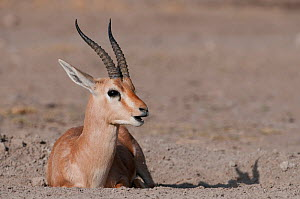 Chinkara / Indian Gazelle ( Gazella bennetti) lying down, Rajasthan, India  -  Bernard Castelein