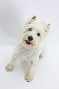 West Highland White Terrier standing.  -  Mark Taylor