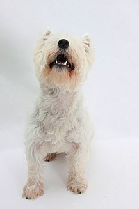 West Highland White Terrier sitting.  -  Mark Taylor