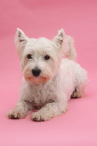 West Highland White Terrier lying against a pink background.  -  Mark Taylor