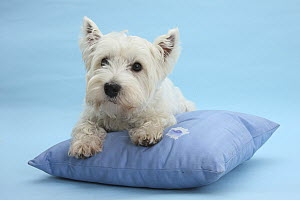 West Highland White Terrier on a cushion against a blue background.  -  Mark Taylor