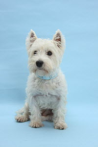 West Highland White Terrier against a blue background.  -  Mark Taylor