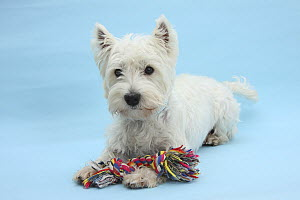 West Highland White Terrier against a blue background with a rag toy.  -  Mark Taylor