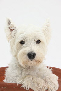 West Highland White Terrier in a plant pot.  -  Mark Taylor