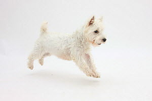 RF- West Highland White Terrier prancing. (This image may be licensed either as rights managed or royalty free.)  -  Mark Taylor
