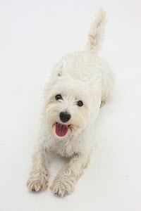 West Highland White Terrier lying looking up into the camera.  -  Mark Taylor