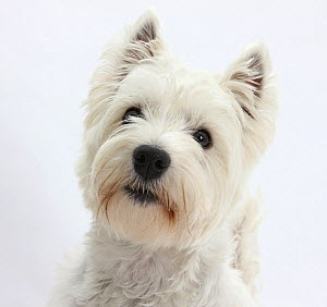 Portrait of a West Highland White Terrier.  -  Mark Taylor