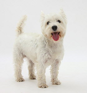 Portrait of a West Highland White Terrier standing.  -  Mark Taylor