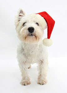 West Highland White Terrier wearing a Father Christmas hat.  -  Mark Taylor