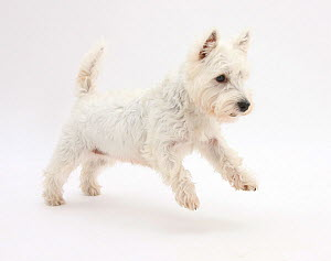 West Highland White Terrier leaping.  -  Mark Taylor