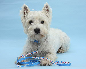 West Highland White Terrier with her lead, against a blue background.  -  Mark Taylor