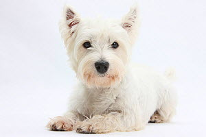 RF- West Highland White Terrier lying with head up. (This image may be licensed either as rights managed or royalty free.)  -  Mark Taylor