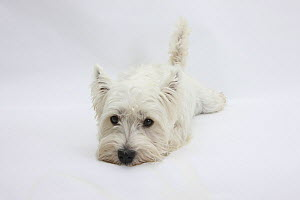 West Highland White Terrier lying stretched out with her chin on the floor.  -  Mark Taylor