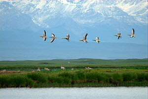 "Bar-headed Geese (Anser indicus) in flight over Bayinbuluke Swan Lake Nature Reserve. Xinjiang, China. Picture taken during filming of BBC ""Wild China"" TV Series, June 2006.  -  Barrie Britton"