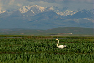 "Whooper swan (Cygnus cygnus) in Bayinbuluke Swan Lake Nature Reserve. Xinjiang, China. Picture taken during filming of BBC ""Wild China"" TV Series, June 2006.  -  Barrie Britton"