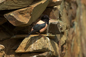 """Rosy starling (Sturnus roseus) by nesting hole in stone wall, Western China. Picture taken during filming for BBC """"Wild China"""" TV Series, June 2006.  -  Barrie Britton"""