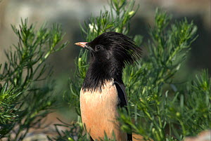 """Rosy Starling (Sturnus roseus), Western China. Picture taken during filming for BBC """"Wild China"""" TV Series, June 2006.  -  Barrie Britton"""