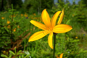 """Yellow Lily (Lilium sp.) in mountain meadow, Mount Changbai National Park, North-east China. Picture taken during filming for BBC """"Wild China"""" TV Series, July 2006.  -  Barrie Britton"""