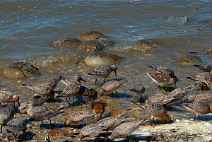 Shorebirds including Red knot (Calidris canutus rufa) feeding among spawning Atlantic Horseshoe Crabs (Limulus polyphemus). Mispillion Harbour Reserve, Delaware Bay, USA. Picture taken during filming...  -  Barrie Britton