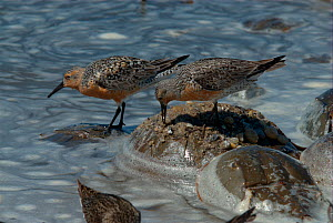 Red Knot (Calidris canutus rufa) feeding on the backs of Atlantic Horseshoe Crabs (Limulus polyphemus). Red knots' spring migration coincides with the spawning of the crabs. Mispillion Harbour Reserve...  -  Barrie Britton