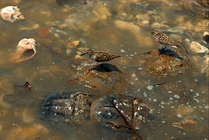Semipalmated sandpipers (Calidris pusilla) standing on the backs of spawning Atlantic horseshoe Crabs (Limulus polyphemus). The Sandpipers feed on the crabs' eggs. Mispillion Harbour, Delaware Bay, US... - Barrie Britton