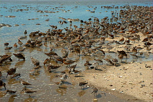 Mixed shorebirds feeding on the eggs of Atlantic horseshoe crabs (Limulus polyphemus). Includes Red knot (Calidris canutus rufa), Ruddy turnstone (Arenaria interpres), Dunlin (Calidris alpina) and Sem... - Barrie Britton