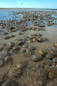 """Mass spawning of Atlantic horseshoe crabs (Limulus polyphemus), Mispillion Harbour Reserve, Delaware Bay, USA. Picture taken during filming for BBC """"Life"""" TV Series, May 2008  -  Barrie Britton"""