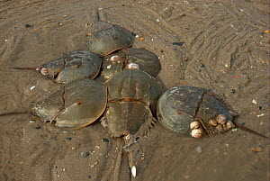 """Male Atlantic horseshoe crabs (Limulus polyphemus) cluster around egg-laying female. Mispillion Harbour, Delaware Bay, USA. Picture taken during filming for BBC """"Life"""" TV Series, May 2008  -  Barrie Britton"""