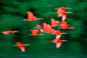 "Scarlet ibis (Eudocimus ruber) in flight, Caroni Swamp, Trinidad. Picture taken during filming for BBC ""Secrets of the Caribbean"" TV Series, January 2006  -  Barrie Britton"