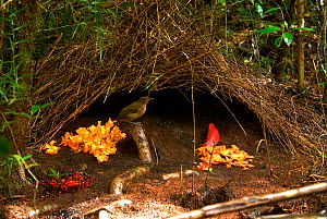 "Male Vogelkop bowerbird (Amblyornis inornata) outside his decorated bower. Vogelkop Peninsula, West Papua, Indonesia. Picture taken during filming for BBC ""Life"" TV Series, September 2008  -  Barrie Britton"