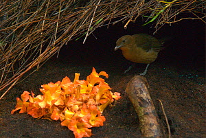 "Male Vogelkop bowerbird (Amblyornis inornata) inspects the decorations outside his bower. Vogelkop Peninsula, West Papua, Indonesia. Picture taken during filming for BBC ""Life"" TV Series, September 20...  -  Barrie Britton"