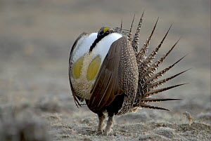 "Male Sage Grouse (Centrocercus urophasianus) displaying at lek. Wyoming, USA. Picture taken during filming for BBC ""Life"" TV Series, April 2007  -  Barrie Britton"