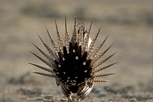 """Male Sage Grouse (Centrocercus urophasianus) displaying at lek - rear view. Wyoming, USA. Picture taken during filming for BBC """"Life"""" TV Series, April 2007  -  Barrie Britton"""
