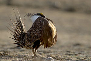 "Male Sage grouse (Centrocercus urophasianus) displaying at lek - side view. Wyoming, USA. Picture taken during filming for BBC ""Life"" TV Series, April 2007  -  Barrie Britton"