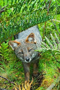 Darwin's Fox (Pseudalopex fulvipes) portrait amongst ferns in temperate rainforest, Chiloe Island, Chile, November, Critically Endangered  -  Kevin Schafer