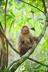 Stump-tailed Macaque (Macaca arctoides) portrait of male, Gibbon Wildlife Sanctuary, Assam, India  -  Kevin Schafer