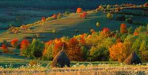 Autumn landscape with traditional haystacks in foreground, Mures, Romania. - Orsolya Haarberg