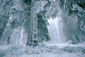 Spruce trees covered in hard frost, coniferous forest in winter, Harghita, Romania. - Orsolya Haarberg