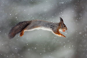 Red squirrel (Sciurus vulgaris) jumping through snow with nut in its mouth, Sor-Trondelag, Norway - Orsolya Haarberg