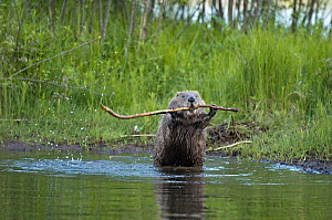 Eurasian beaver (Castor fiber) demonstrating stick display, territorial behaviour, Telemark, Norway, June  -  Orsolya Haarberg