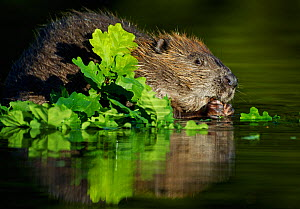Eurasian beaver (Castor fiber) feeding on oak leaves in water, Telemark, Norway, June  -  Orsolya Haarberg