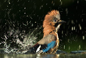 Jay (Garrulus glandarius) bathing, Hungary, May - Orsolya Haarberg